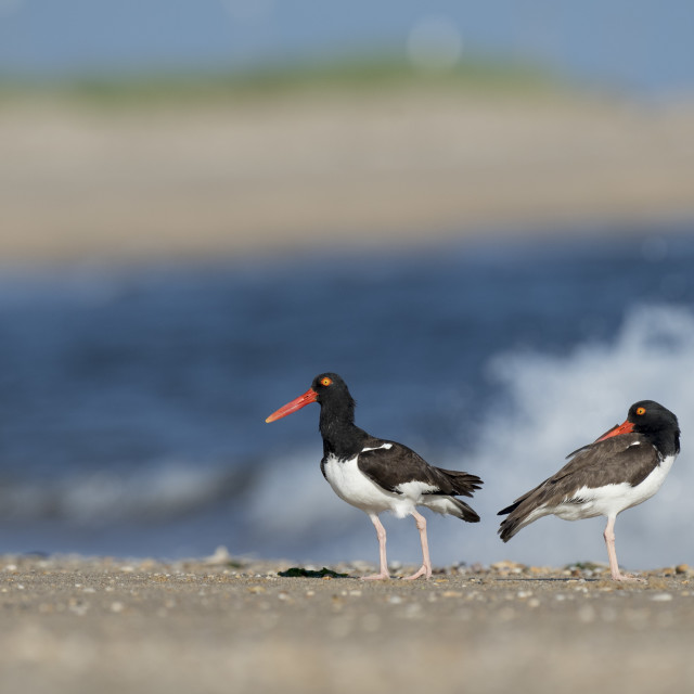 """""""American Oystercatcher Pair"""" stock image"""