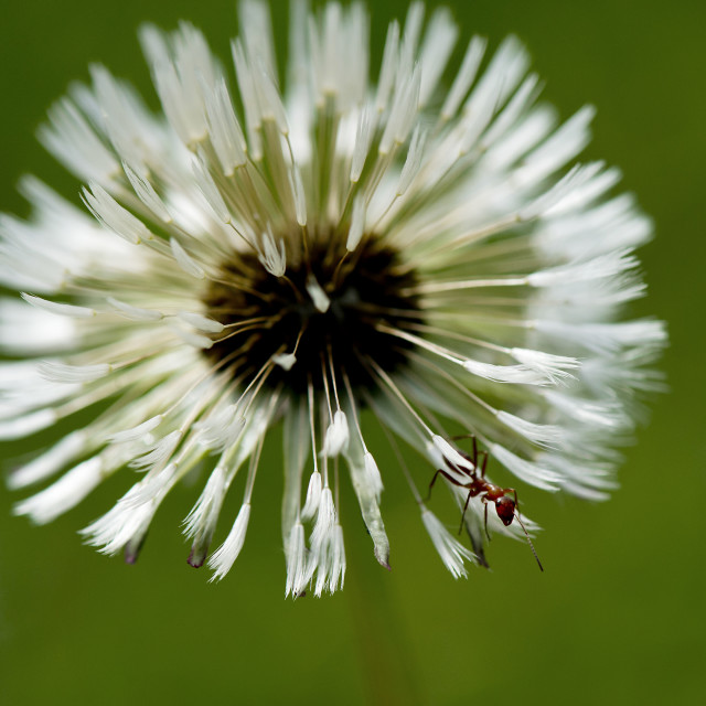 """""""Ant on a Dandelion"""" stock image"""