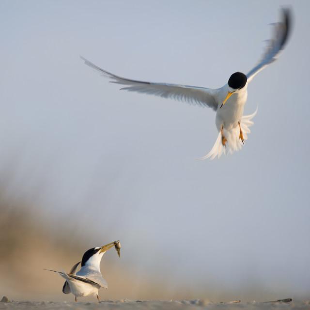 """Attacking Tern"" stock image"