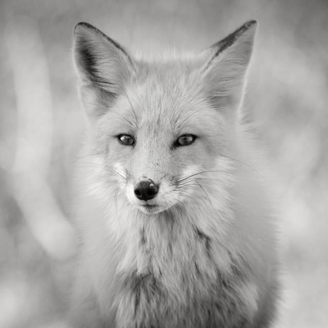 """""""B&W Fox Portrait"""" stock image"""