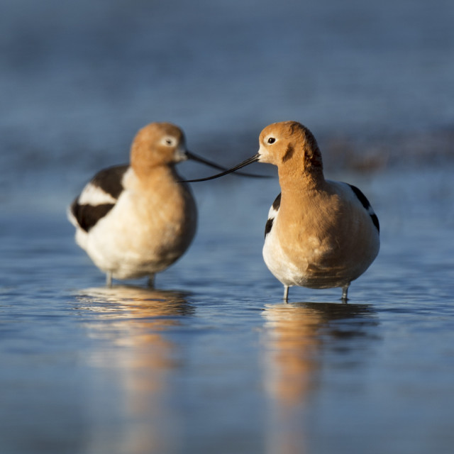 """""""Avocets with Crossed Bills"""" stock image"""