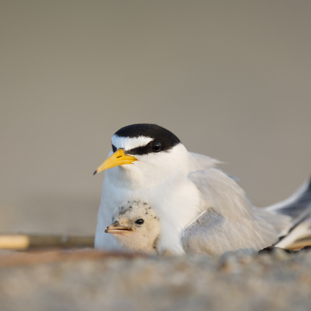 """""""Baby Least Tern and Parent"""" stock image"""
