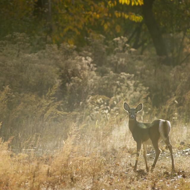 """""""Back-lit Deer"""" stock image"""