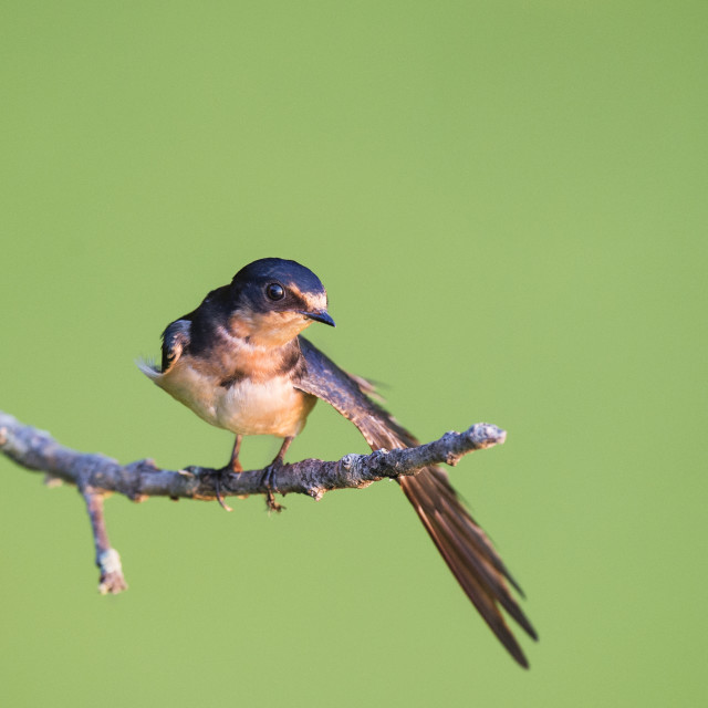 """""""Barn Swallow Stretch"""" stock image"""
