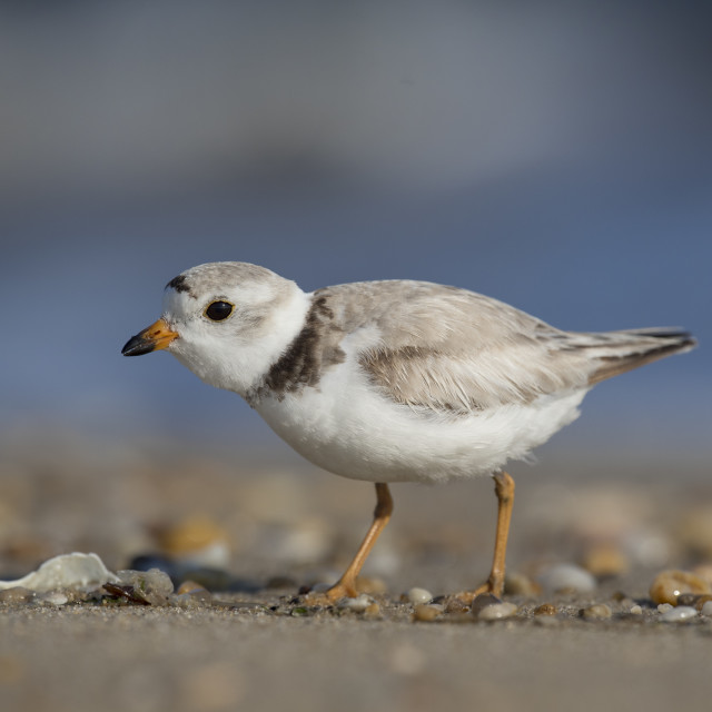 """""""Beach Piping Plover"""" stock image"""