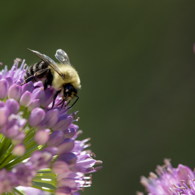 """""""Bee and Flower"""" stock image"""