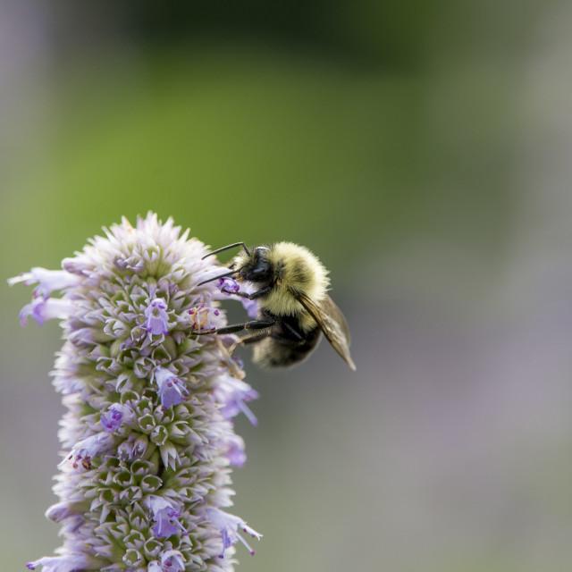 """Bee on Purple Flowers"" stock image"