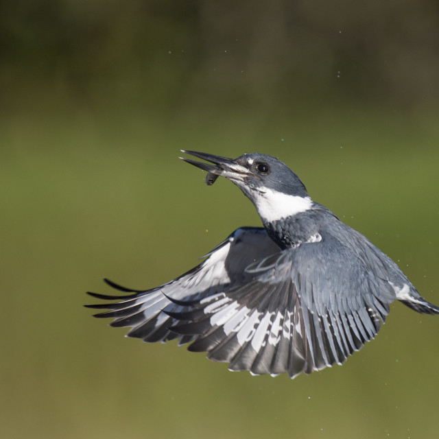 """""""Belted Kingfisher Flying"""" stock image"""
