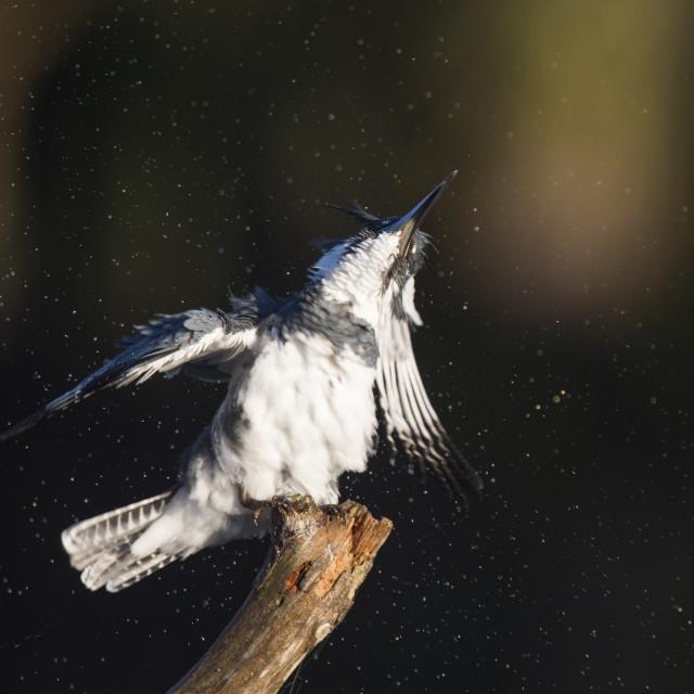 """""""Belted Kingfisher Shaking"""" stock image"""