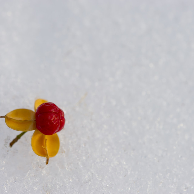 """""""Berry and Snow"""" stock image"""