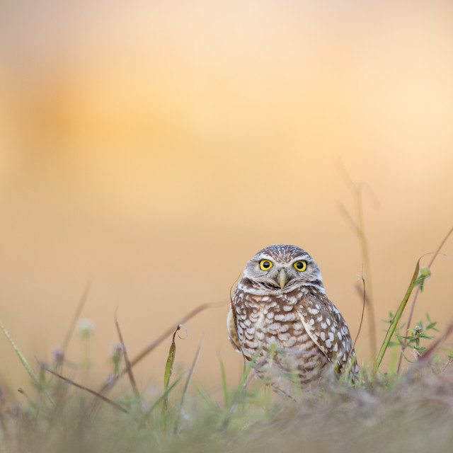 """""""Big Eye Burrowing Owl"""" stock image"""