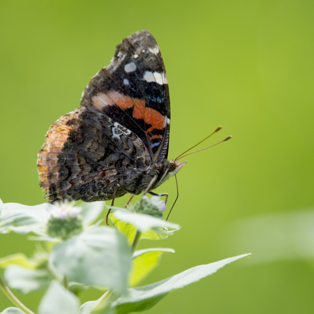 """""""Black and Orange Butterfly on Flowers"""" stock image"""