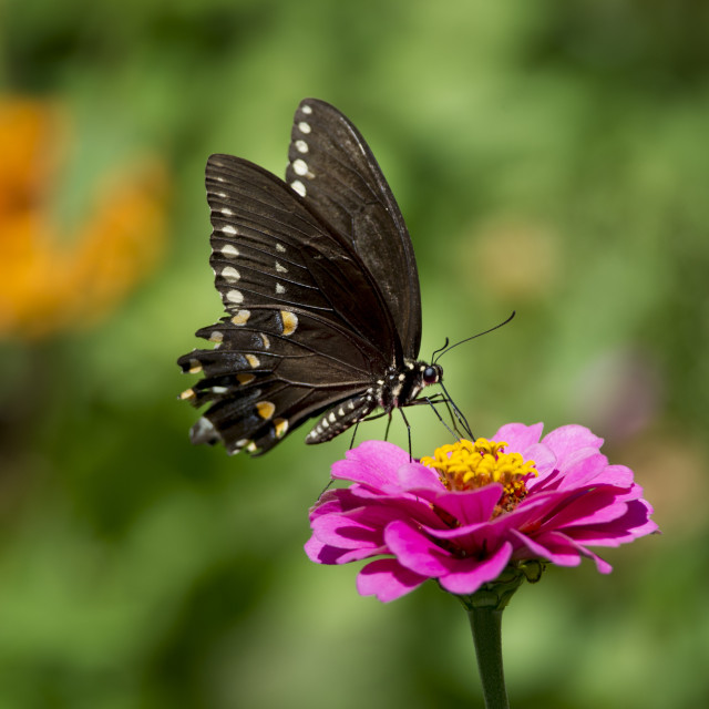 """""""Black Butterfly on Pink Flower"""" stock image"""