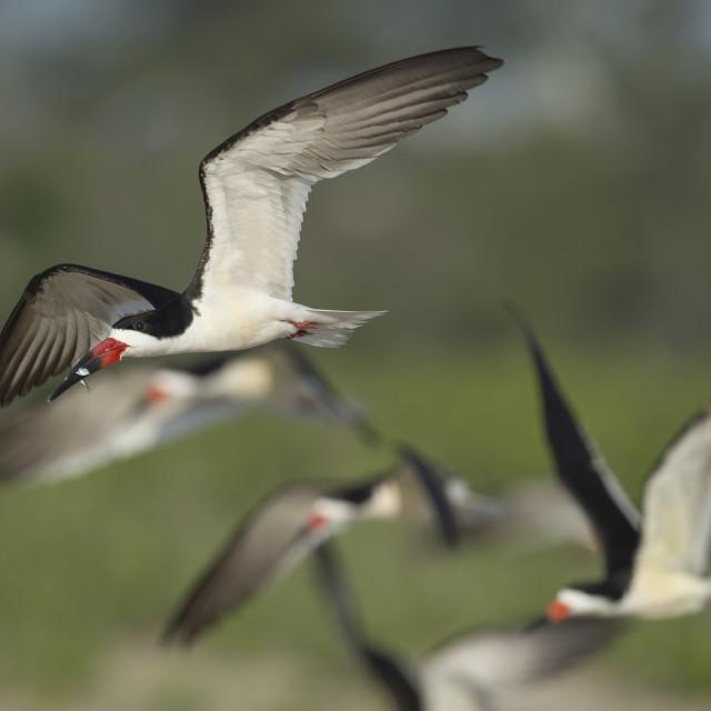 """""""Black Skimmer Flock"""" stock image"""
