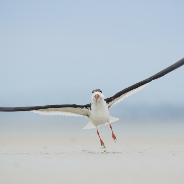 """Black Skimmer Takeoff"" stock image"