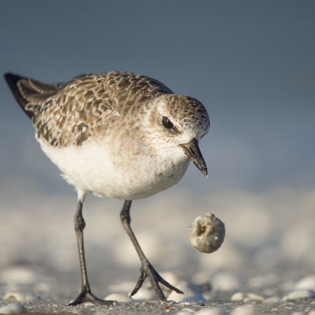 """""""Black-bellied Plover with Food"""" stock image"""