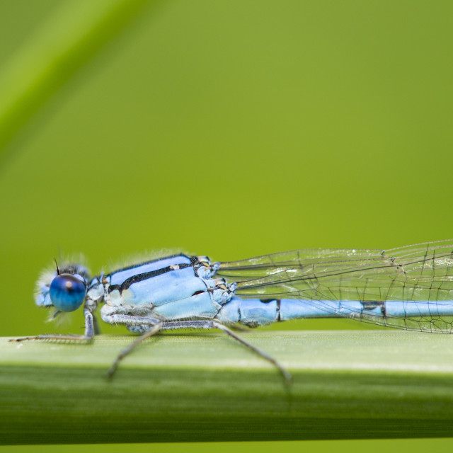 """Blue and Green Damselfly"" stock image"