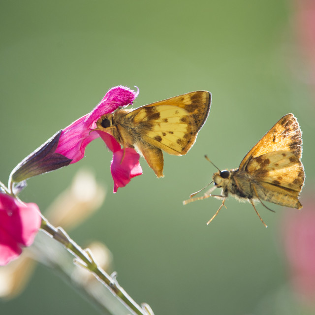 """""""Butterfly Pair and Pink Flowers"""" stock image"""