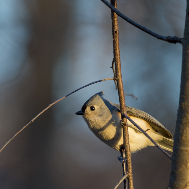 """Curious Titmouse"" stock image"
