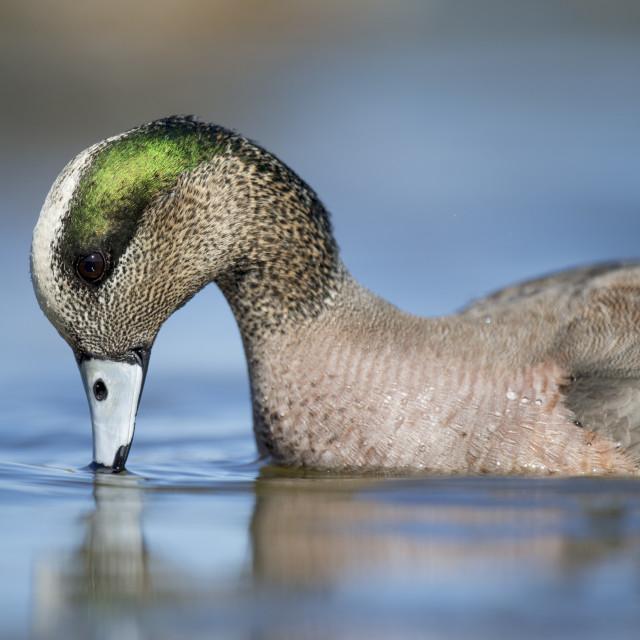 """Male Wigeon Feeding"" stock image"