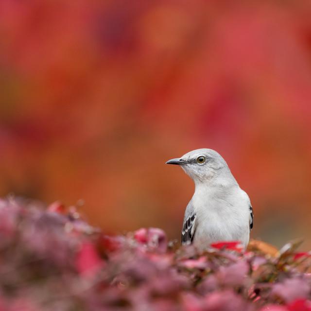 """""""Mockingbird in Fall"""" stock image"""