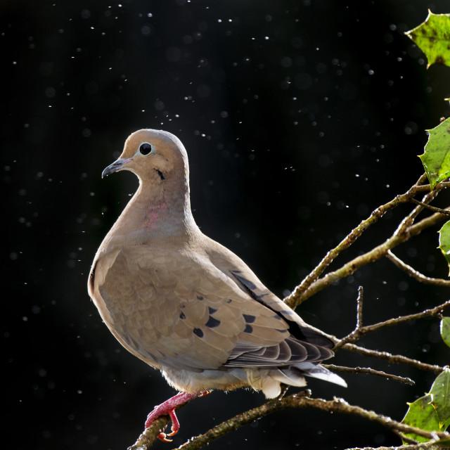 """Mourning Dove Portrait"" stock image"