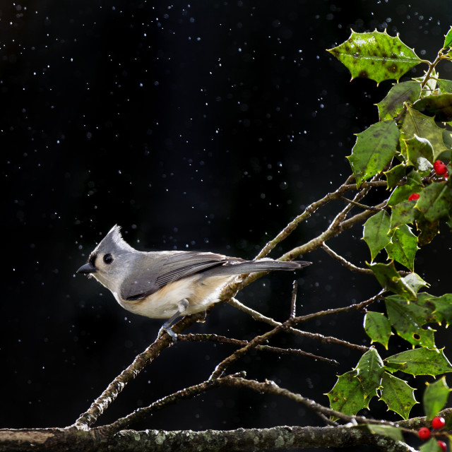 """Perched Tufted Titmouse"" stock image"