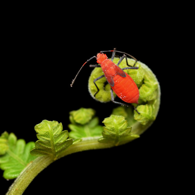 """Red Stink Bug"" stock image"