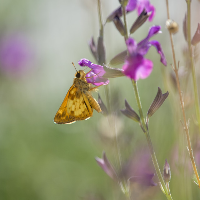 """""""Small Orange Butterfly on Flowers"""" stock image"""