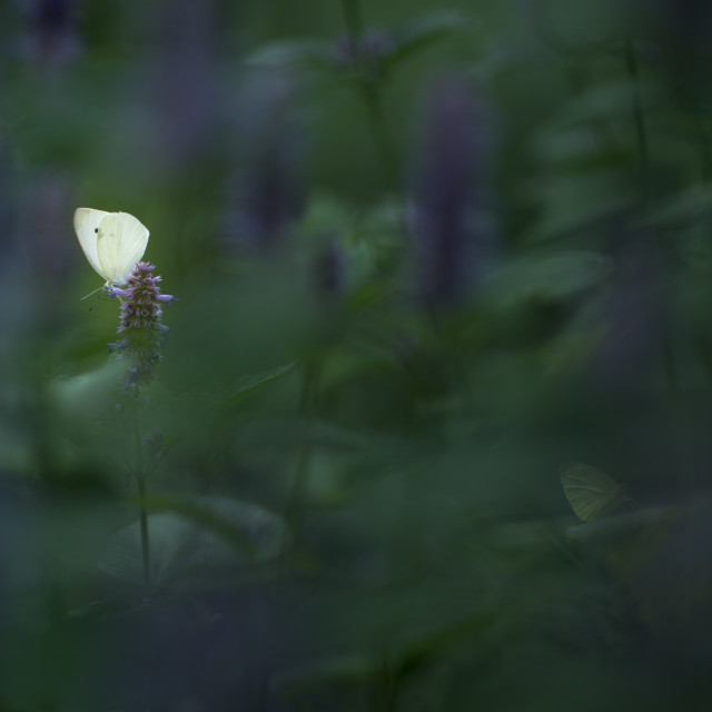 """""""Small White Butterfly"""" stock image"""