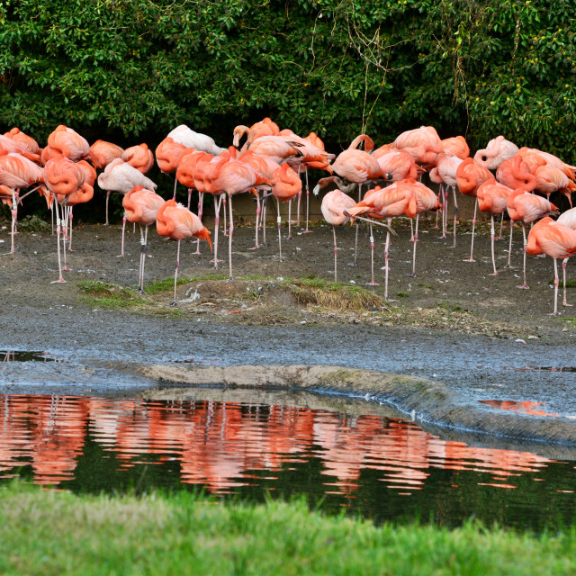 """Flamingo Flock"" stock image"