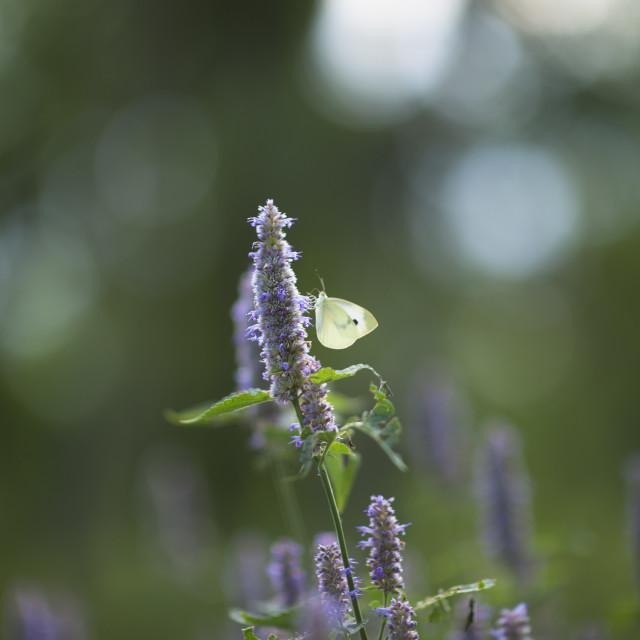 """""""Small White Butterfly on Purple Flower"""" stock image"""