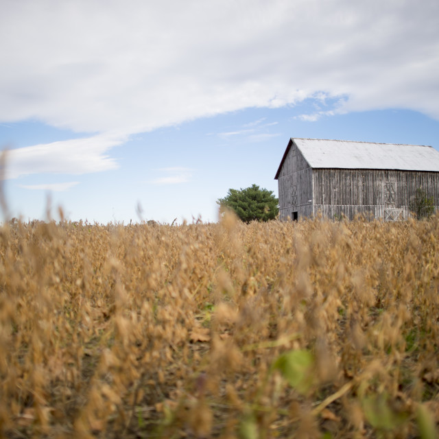 """""""Soybean Field and Barn"""" stock image"""
