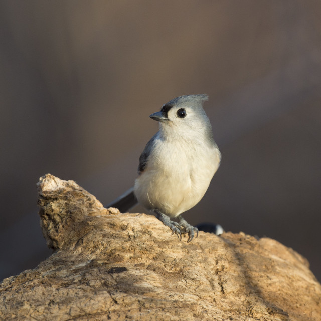 """Titmouse Pose"" stock image"