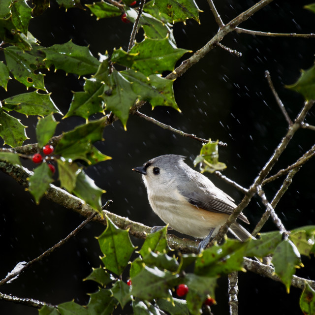 """Tufted Titmouse in Holly"" stock image"