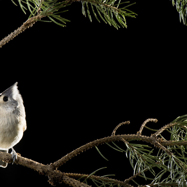 """Tufted TItmouse Portrait"" stock image"
