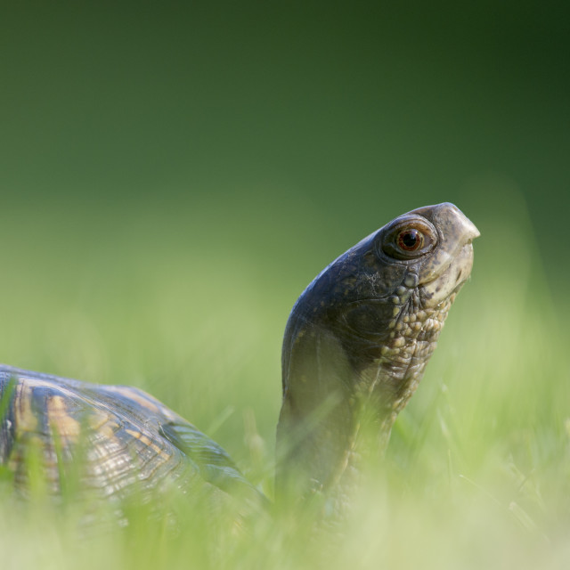 """""""Turtle in the Grass"""" stock image"""