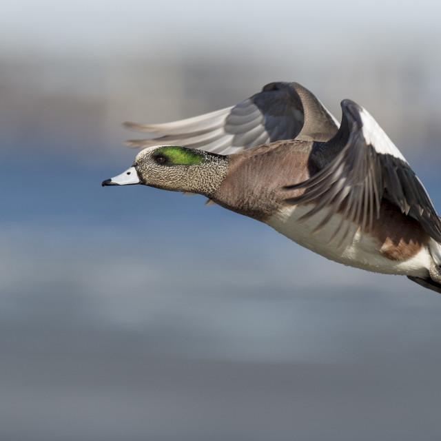 """""""Wigeon Landing"""" stock image"""