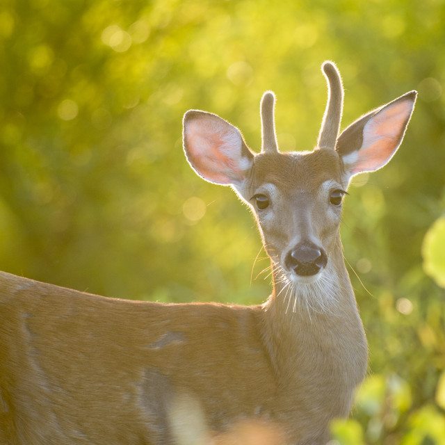 """Young Whitetail Buck"" stock image"