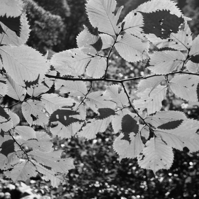 """Sunlit leaves"" stock image"