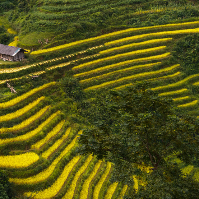 """terraced rice fields in Hoang Su Phi in Ha Giang province in Vietnam"" stock image"