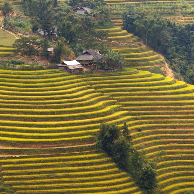 """terraced rice fields in Hoang Su Phi in Ha Giang province in Vietnam"" stock image"