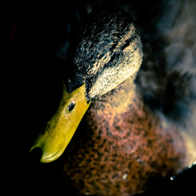 """Duck Portrait"" stock image"