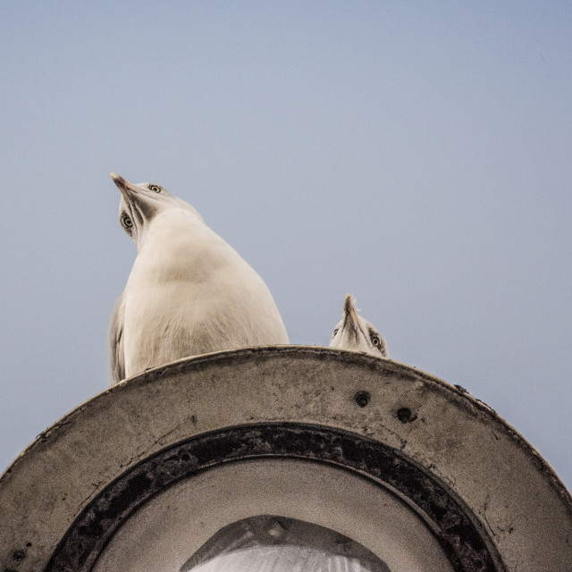 """""""Seaguls on a lamp post"""" stock image"""