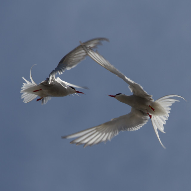 """Arctic Terns"" stock image"