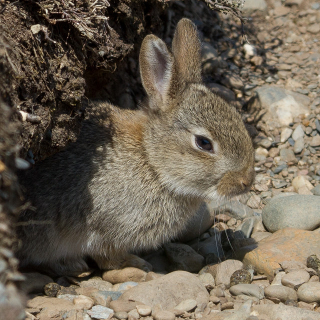 """Rabbits at Calf Sound"" stock image"