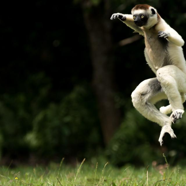"""""""Verreaux Sifaka lemur , Madagascar"""" stock image"""