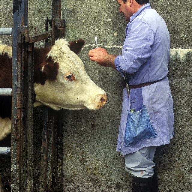 """Irish veterinarian giving shots to a farmers cattle, County Clare, Ireland"" stock image"