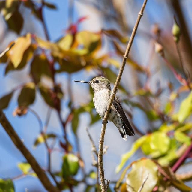 """""""Anna's Hummingbird Perched in a Tree"""" stock image"""