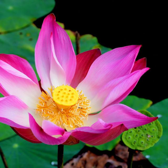 """""""Pink Lotus"""" stock image"""